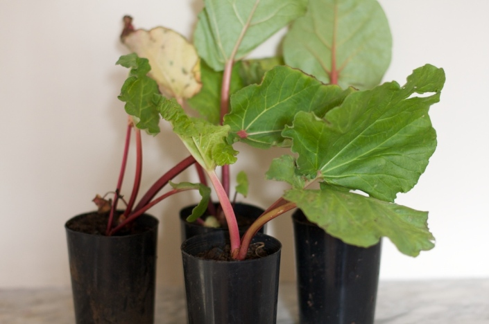 Four rhubarb plants, ready to be planted into the ground