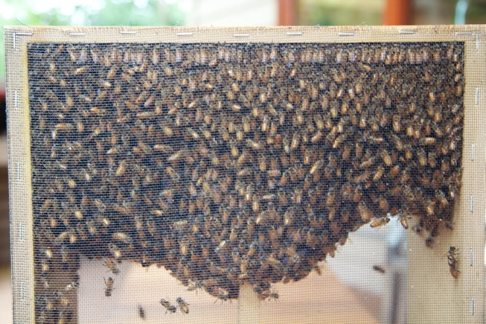 "Close-up of the ""package"" of bees. That's a lot of bees!"