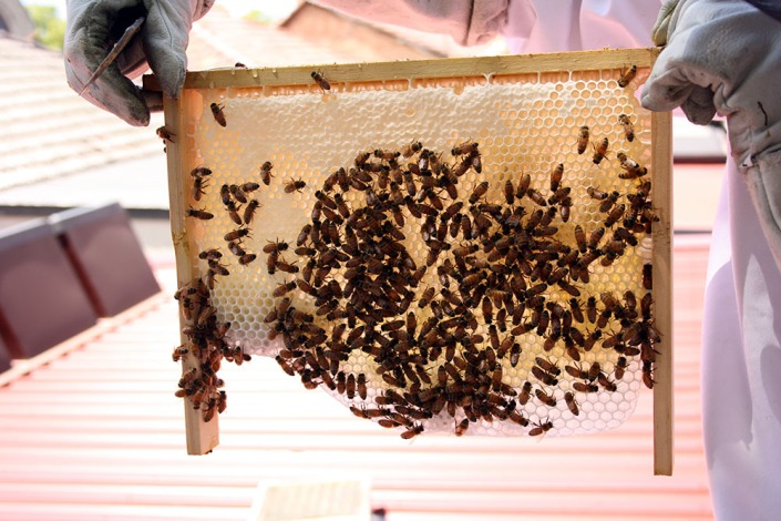 Bees forming natural comb, and then rapidly filling it with honey.