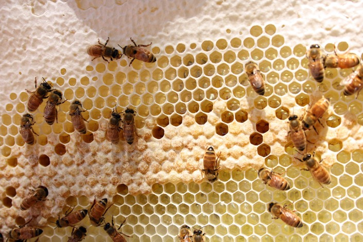 This is the important bit: the brood cells in the middle of the photo, which hatch out new bees.