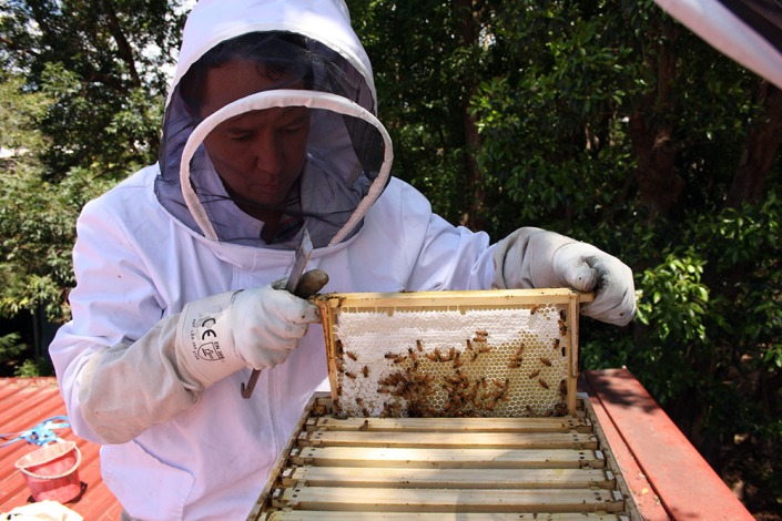 Opening up the hive, to check on its health.