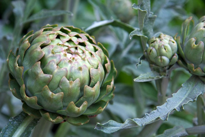 Globe artichokes, which make quite a statement in the garden.