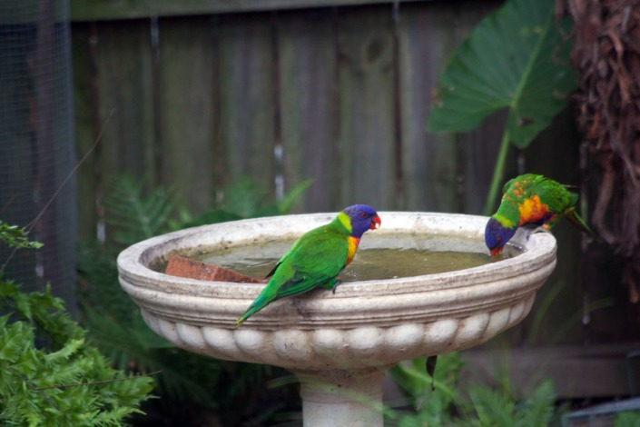 Rainbow lorikeets drinking from our birdbath.