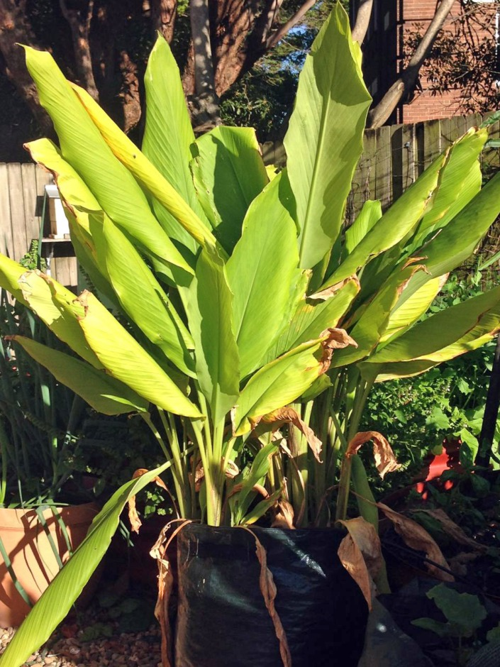 Our tumeric at the height of its growth