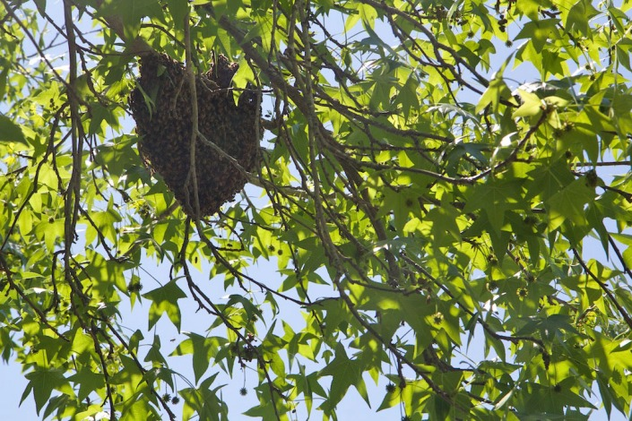 The swarm of bees, hanging off a tree branch