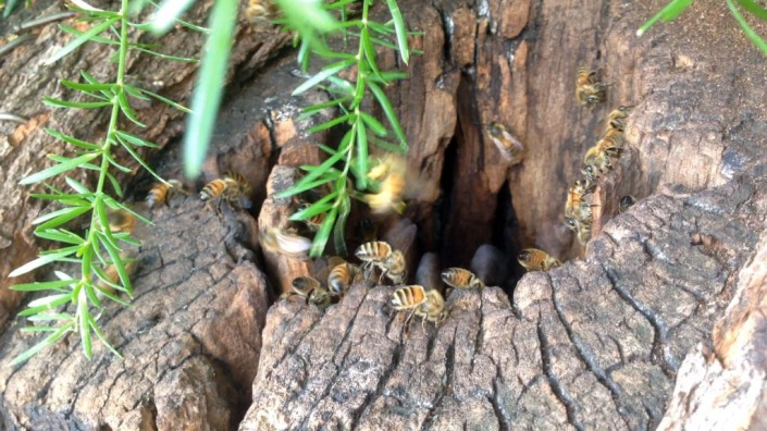 Bees flying into their wild hive in the trunk of a tree.