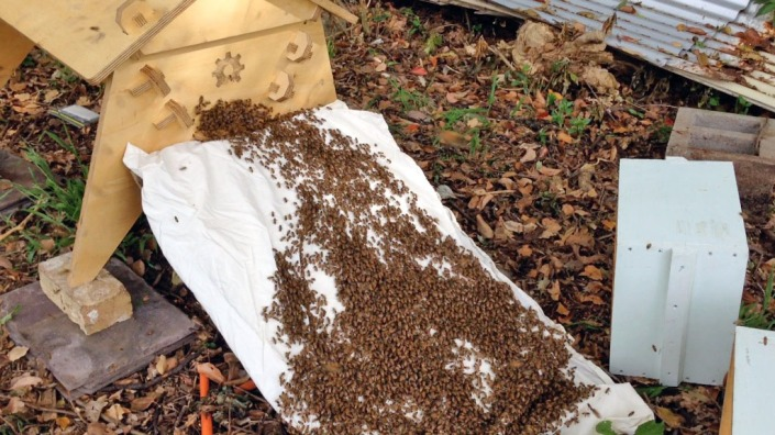 The bees climbing up a white sheet, into their new home. Amazing!