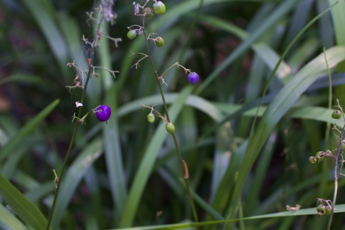 Dianella caerulea (blue flax-lilly) produces bright blue/purple berries.