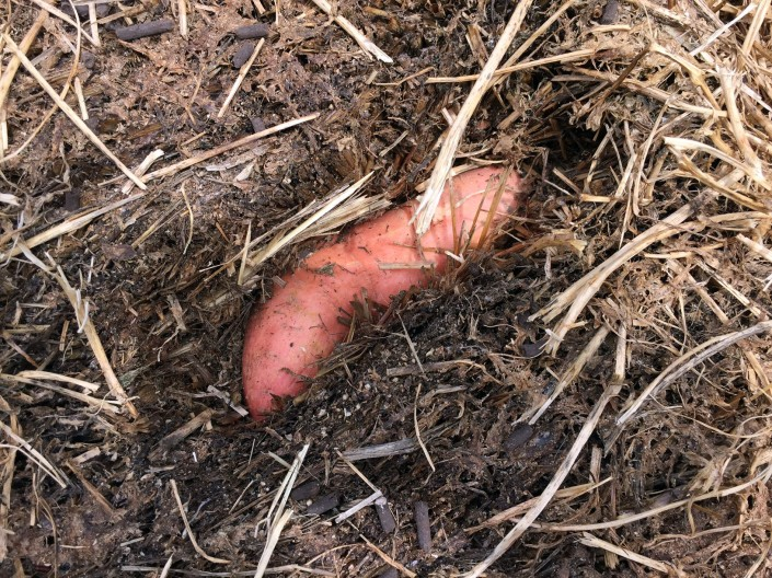 A sweet potato (kumera) nestled in the straw.