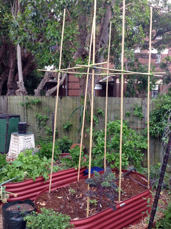 A frames for my tomatoes, made using bamboo poles
