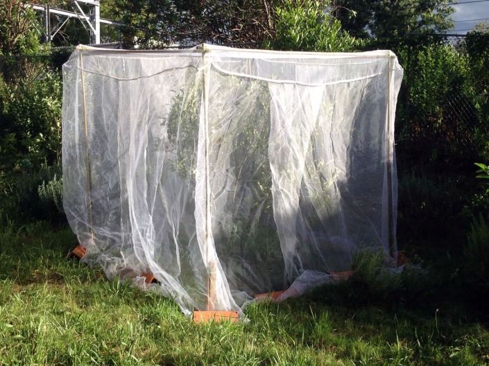 Protecting my apples trees against fruit fly, using a bamboo structure and insect netting.