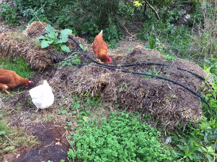 Our bedraggled first attempt at a straw bale garden.