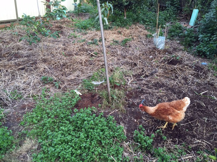 The hay now spread evenly across the whole garden, thanks to the chickens!
