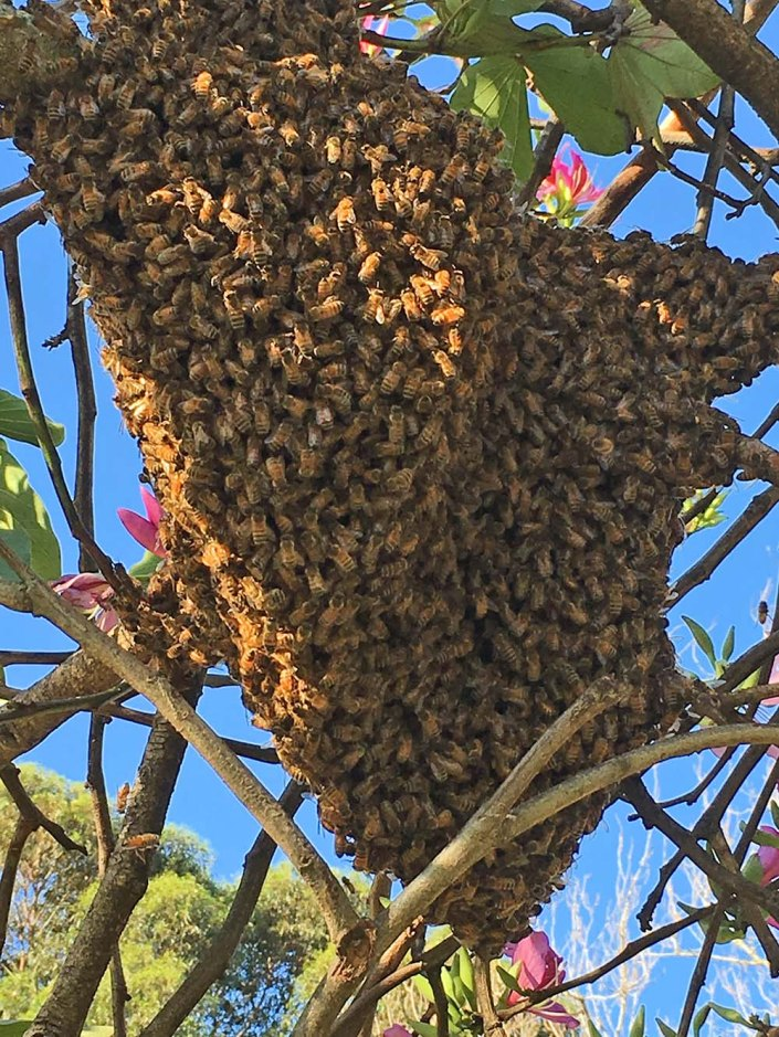 Swarm of bees, in Camperdown Memorial Rest park