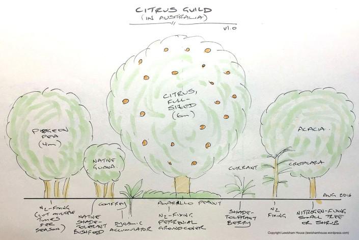 Citrus guild, drawn to scale (version 1.0)