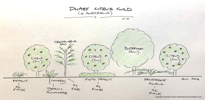 Dwarf citrus guild, drawn to scale (version 1.0)